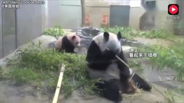 熊猫妈妈在享用美食的时候突然想起自己还有个娃,这绝对是亲妈!