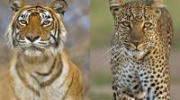 动物世界! 老虎和猎豹