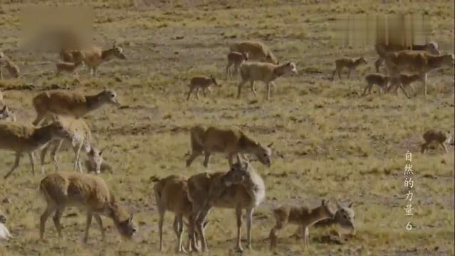 青藏高原无人区 哺乳动物大迁徙的场面如此壮观