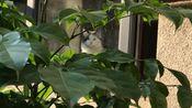 【布偶猫】新冠来了 我跟我爸在门口钓鱼..大福在家里面看着 哈哈哈哈哈