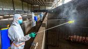 中国科学家首次成功解析非洲猪瘟病毒结构,将消灭猪瘟,保障农民