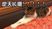 akina   世界上腿最长的猫科动物,腿长0.8米,堪比人类!!