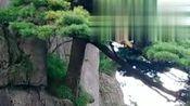 这就是传说中的黄山小迎客松,国家级保护植物,太漂亮了