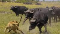 动物世界水牛杀死狮子