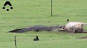 澳女子自家农场拍到巨鳄撕咬母牛惊恐一幕-奇闻异事-娱乐新奇秀