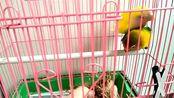 这两个牡丹鹦鹉喜欢吃高粱穗,为啥这次躲得远远的?我闻到了!