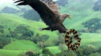 动物世界太残忍了! 老鹰 VS 蛇 最强空中动物大战陆地最强动物!