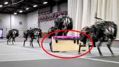 会跨栏的机器猎豹,45厘米的障碍轻松过,跑的过刘翔吗?