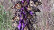 蝴蝶都落在花朵上吸取花汁,形成了一颗美丽的蝴蝶树,这是大自然的美景!
