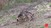 两头长得和狗狗一样的山林野货在山里互撕,被镜头记录下来