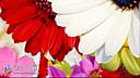 浪漫的花瓣飘落视频背景素材免费下载网址_54_154