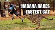 人和猎豹赛跑, 2脚兽被瞬秒, 网友: 换博尔特上会怎样?
