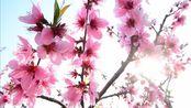 《三月桃花雨》