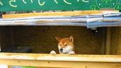 日本网红小吃店,老板请了一只狗狗在看店,付款时零钱还不能找!