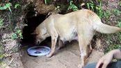 """深山中华田园犬快生了,主人给它挖了一个山洞,当做""""产房""""行吗"""