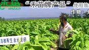 禾苗公司—烟草效果实例2(河南平顶山2009年)