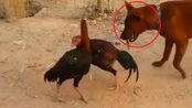 动物世界 两只公鸡疯狂打架 狗狗在一旁卖呆儿