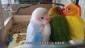 牡丹鹦鹉,对爱情忠诚专一!
