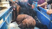 今天狗市上的大型狗品种不少,一个比一个凶猛,你看哪个最厉害