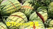 农妇种2000多个西瓜,竟一夜之间全被砍烂,急坏农妇,等...