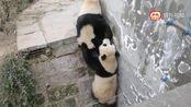 真正的功夫熊猫!!!