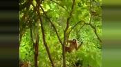 猴子作死调戏老虎 不料树枝突然断了, 断了,断了,断了.........