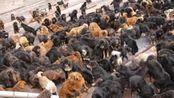 藏獒经济崩盘:上万流浪狗成灾袭击人传染疫病