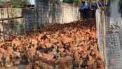 【鸡】拿着饭桶的样子是最受大鸡鸡们欢迎的