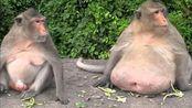 世上最胖的动物,它们的肥胖程度丝毫不输人类!