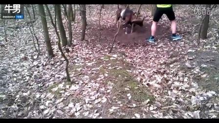 有趣野山羊的角挂在小树上难脱身