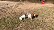 法国斗牛犬与英国斗牛犬在公园相遇它们的切磋开始了