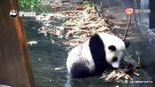 《大熊猫乔伊乔良》下午,乔小烦现在力气很大了哇,奶妈都拉不住了,一颗吃货的心想挡也挡不住