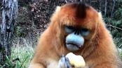 金丝猴是我见过最温柔的猴子了,不像峨眉山的猴,就跟山上的土匪一样!