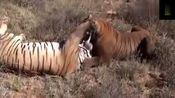 两只老虎PK,真的是大开眼界了!