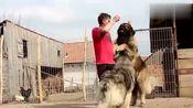 俄罗斯男子一下养了两条高加索犬,感叹饭量太大自己快要被吃穷了