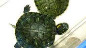 发现最萌宠之巴西龟