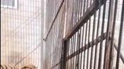 两只大老虎隔着笼子走来走去,看着十分烦躁,网友让它俩打一架