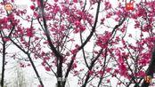 春天,清远北江岸边的踊è大道
