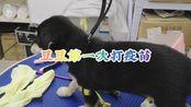 【四眼豆豆】四眼田园奶狗第一次打疫苗