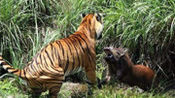 老虎捕食野猪,舔了两口血便走了,真是让人百思不得其解!