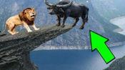 动物世界,狮子水牛大象之间的精彩镜头,狮子不愧是万兽之王!