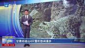 甘肃祁连山4只雪豹悠闲漫步