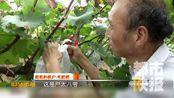优质葡萄上市!农户+种植合作社 鄠邑葡萄探出致富路
