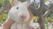 【豚鼠】荷兰猪嘟嘟的快乐碎片-初次见面