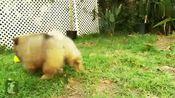 可爱的松狮犬小宝宝们,毛茸茸圆滚滚