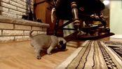 小小的八哥犬