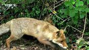 雌性赤狐会在附属洞内储藏食物,以便日后遇到危险,可以躲入其中