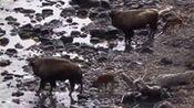 动物世界蛇 狼 熊合集