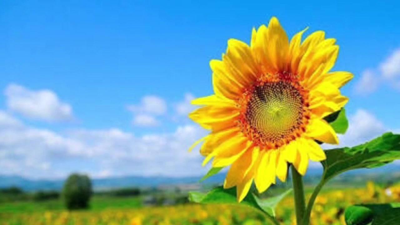【欅坂46】『夏の花は向日葵だけじゃない』full ver. 今泉佑唯(附日文歌词)【生肉】