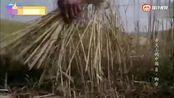 《舌尖上的中国》小麦奠定了陕西面食王沟哪基石